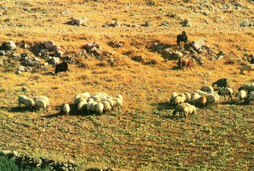O pastýři