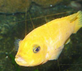 O zlaté rybce